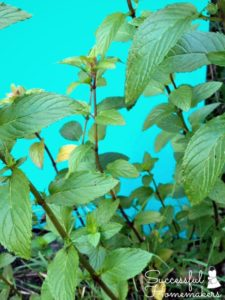 Chocolate Mint- Good For Much More Than Tea! ~ Successful Homemakers
