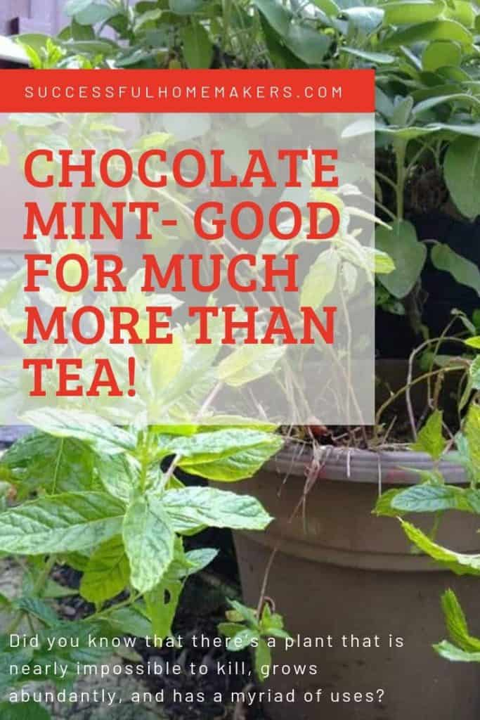 Chocolate Mint good for much more than tea!
